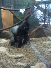 Gorilla at Lincoln Park Zoo #1