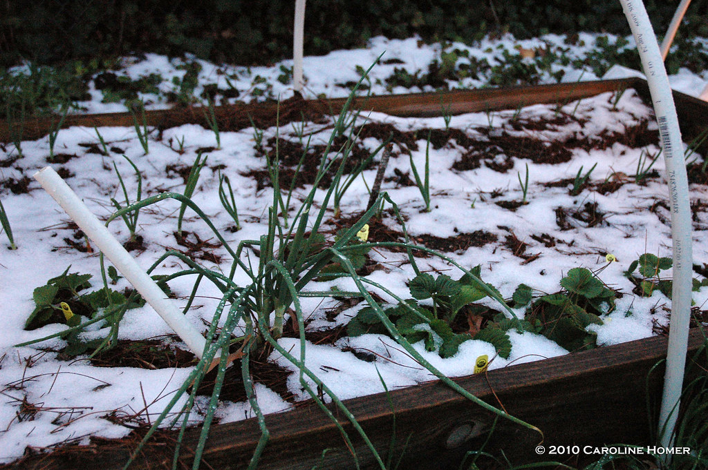 Onions and strawberries in snow