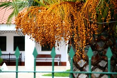 Palmera / Palm tree (Cesar Redondo) Tags: espaa color colour canon spain dof bokeh palmeiras colores palm palmtree tropical dates palmera botanica follage caribe palmeira feb10 february10 datil feb25 creativephotography february25 datiles fotografiacreativa febrero10 febrero25 canon1000d