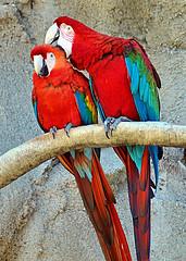 Please, dont stop! (DigitalLUX) Tags: blue red birds yellow azul rojo miami parrot aves explore amarillo miamibeach southflorida macaws scarletmacaw parrotjungle abigfave guacamayos anawsomeshot jungleisland atqueartificia
