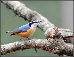 Red-breasted Nuthatch (Roy Brown Photography) Tags: favorite brown mountains bird nature ecology roy birds georgia photography nikon wildlife north birding favorites conservation american swamp albany aba fav nikkor habitat society nuthatch favs gos association toa physiography manfrotto dougherty wimberley buckhorn redbreasted audubon lowepro d300 gilmer ellijay canadensis sitta bird ornithological photography whitepath watcher ebird physiographic roybrown d300s rbnu watching chickasawhatchee roybrownphotography sitcan