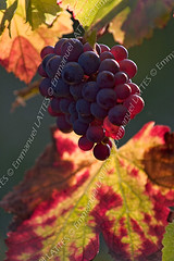 Vigne (Vitis vinifera) et grappe de raisin en automne  Saint-Ro (Emmanuel LATTES) Tags: autumn red food fra