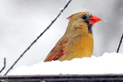 female cardinal february 2