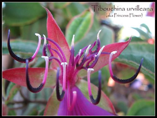 Tibouchina urvilleana ©Artisan Soaps