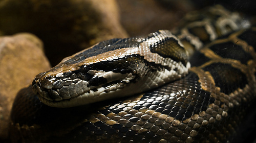 python, burmese, wwarby