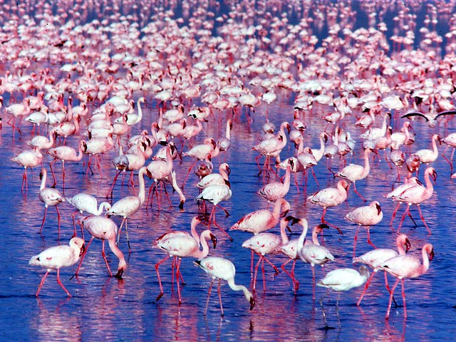 Flamingos: Phoenicopterus minor crowd
