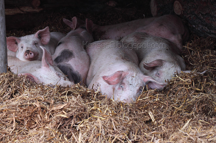 Sleeping Pigs (by KansasA)