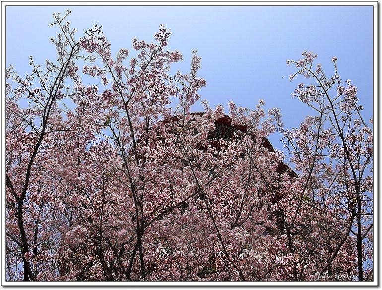 天元宮,櫻花 (29)