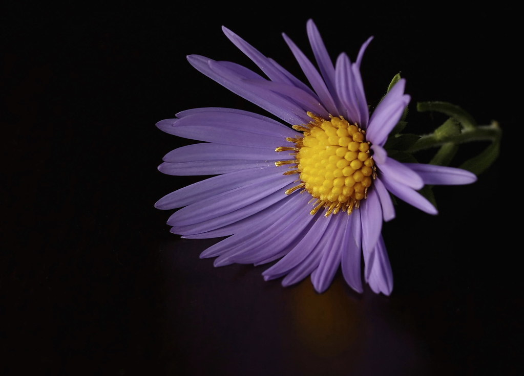 A Purple Aster on Cherry Wood