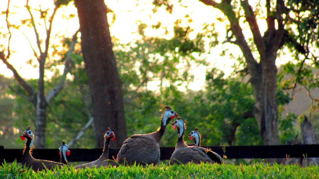 Galinhas Dangola Catherine Bird Tags Sunset Portrait Colors Animal Retrato Pordosol