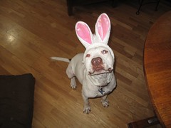 It's the Easter Buddy! (Mary Cummins) Tags: california wild rescue dog animal losangeles wildlife buddy pit pitbull adoption broker appraisal appraiser animaladvocates marycummins marycumminscobb marycobb wildliferehabilitator animaladvocatesus marycumminscom marykcummins cumminsrealestateservices