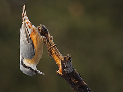 Nuthatch (Charlotte Brett Photography) Tags: uk bird lancashire nuthatch towneleypark