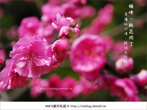 【梅峰農場桃花緣】最美的桃花隧道,就在南投梅峰這裡~(上)7