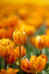 Orange maze (terencehonin) Tags: hk orange flower hongkong nikon bokeh 85mm exhibition tulip nikkor  2010    flowerexhibition d700 afnikkor85mmf14dif wonderfulworldofflowers 4tografie