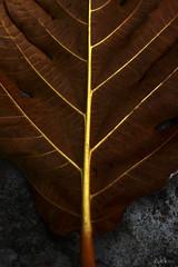 Leaf or Tree? (-clicking-) Tags: lighting autumn brown macro tree texture nature leaves closeup leaf natural falling foliage fade fading vensofleaf