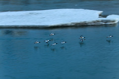 Ducks in flight over the Bow River (tremaine.lea) Tags: calgary ducks bowriver