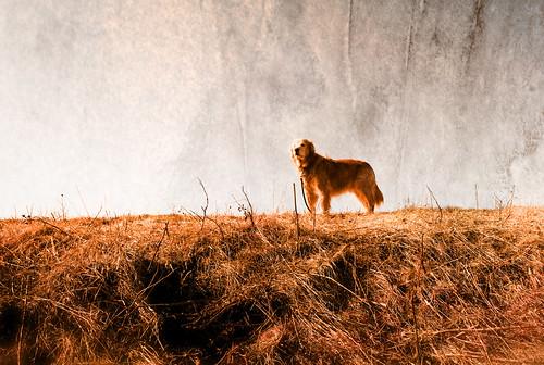 フリー写真素材, 哺乳類, イヌ科, 犬・イヌ, ゴールデン・レトリバー,