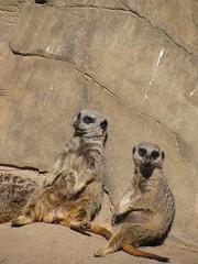 Lounging Kats (Annemod) Tags: meerkats louisvilleky louisvillezoo