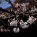 標準木の開花