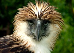 Philippine Eagle (mang M) Tags: eagle philippines mindanao aguila monkeyeatingeagle philippineeagle pithecophagajefferyi mangmaning2000