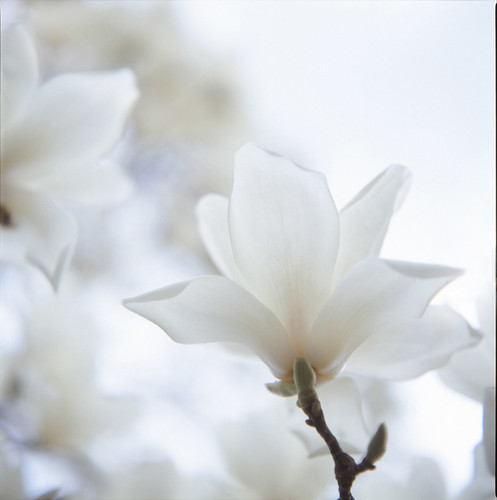 White beauty : Magnolia