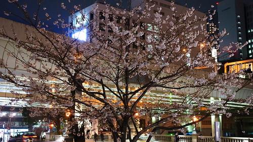 sakura @Nihonbashi