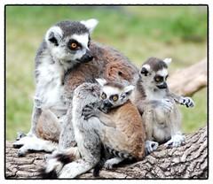 Ring tailed lemur (floridapfe) Tags: family animal zoo nikon korea ring lemur tailed everland ringtailedlemur