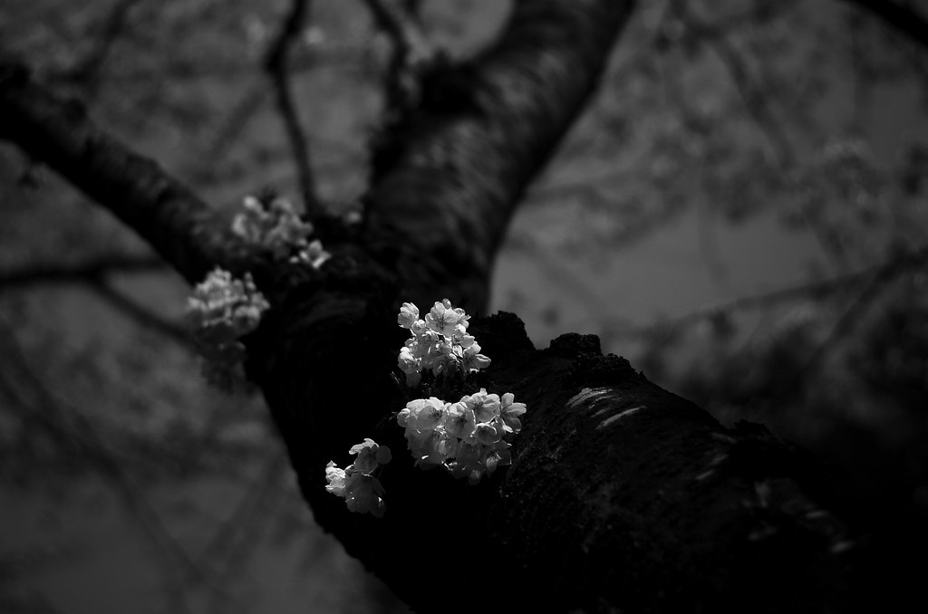 cherry blossoms #4