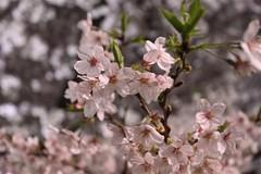 桜サクラ今咲き誇る