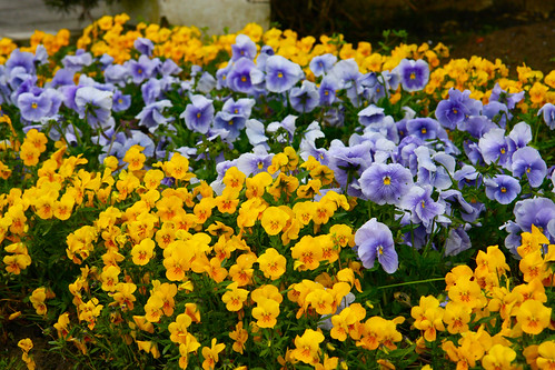Yellow and Lilac