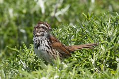 Song Sparrow Photo