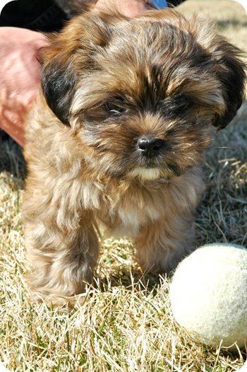Coco the Shorkie