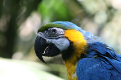 "02 09_ CR_ Zoo Ave_ BG Macaw head closeup • <a style=""font-size:0.8em;"" href=""http://www.flickr.com/photos/30765416@N06/4520865948/"" target=""_blank"">View on Flickr</a>"