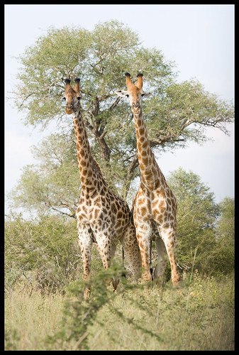 giraffe pair 2