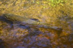 Brown Trout Tasmania Australia (tim phillips photos) Tags: brown australia tasmania trout