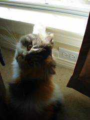 Hello Kitty (Texas to Mexico) Tags: face cat persian furry feline kitty tricolor katerina happyfurryfriday catnipaddicts