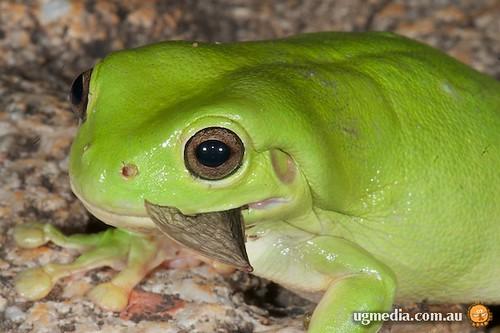 Green tree frog (Litoria caerulea) eating a microbat