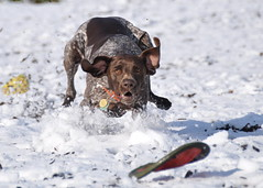 Sliding in for the Grab (The_Little_GSP) Tags: pointer shorthair germanshorthair gsp germanshorthairedpointer germanshorthairpointer littlegspphotography