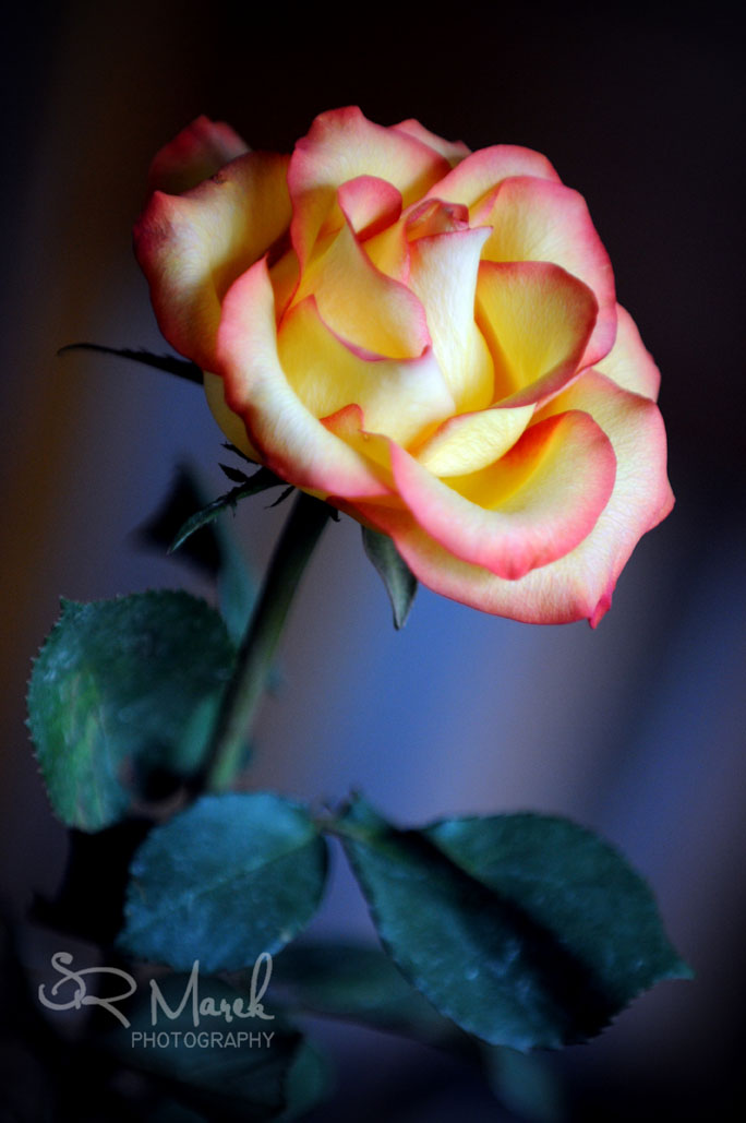 Day 109 - A lovely rose