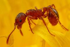 Red Ant in a Dandelion (steb1) Tags: red macro insect feeding ant dandelion rubra hymenoptera myrmica