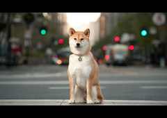 Street Dog - 16/52 (kaoni701) Tags: sanfrancisco street portrait project puppy photography japanese nikon dof bokeh tokina fox embarcadero ferrybuilding wireless ferryplaza marketstreet suki shibainu shiba cinematic akita cls 535 inu 1652 lastolite shibaken 柴犬 strobist 50135 sb900 d300s 52weeksfordogs autofphispeedsync