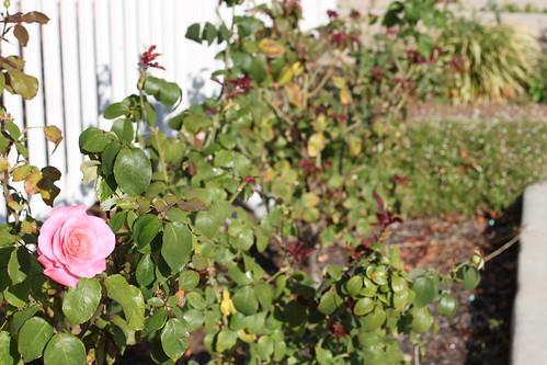 Roses trimmed_2857