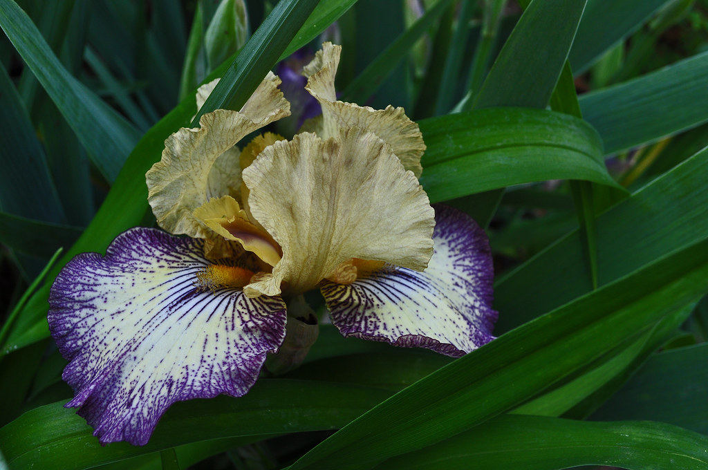 My Current Favorite Iris