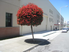 (boscoboscobosco) Tags: sanfrancisco flowers shadow red tree cute circle perfect none blossoms explosion nobody nopeople round rounded bubbly popsicle prunning pruned nohuman