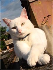 Poser (DCoutinho) Tags: olhos gato patas felino verdes coleira terrao branquinho