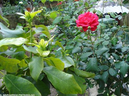 atelier-maio-rosas