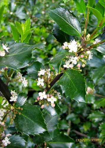holly shrub