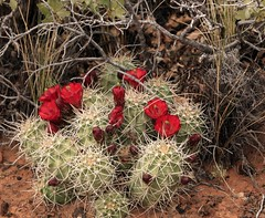 Cactus in Bloom (akahodag) Tags: flowers cactus flower utah arches bloom archesnationalpark delicatearchhike utahapril2010