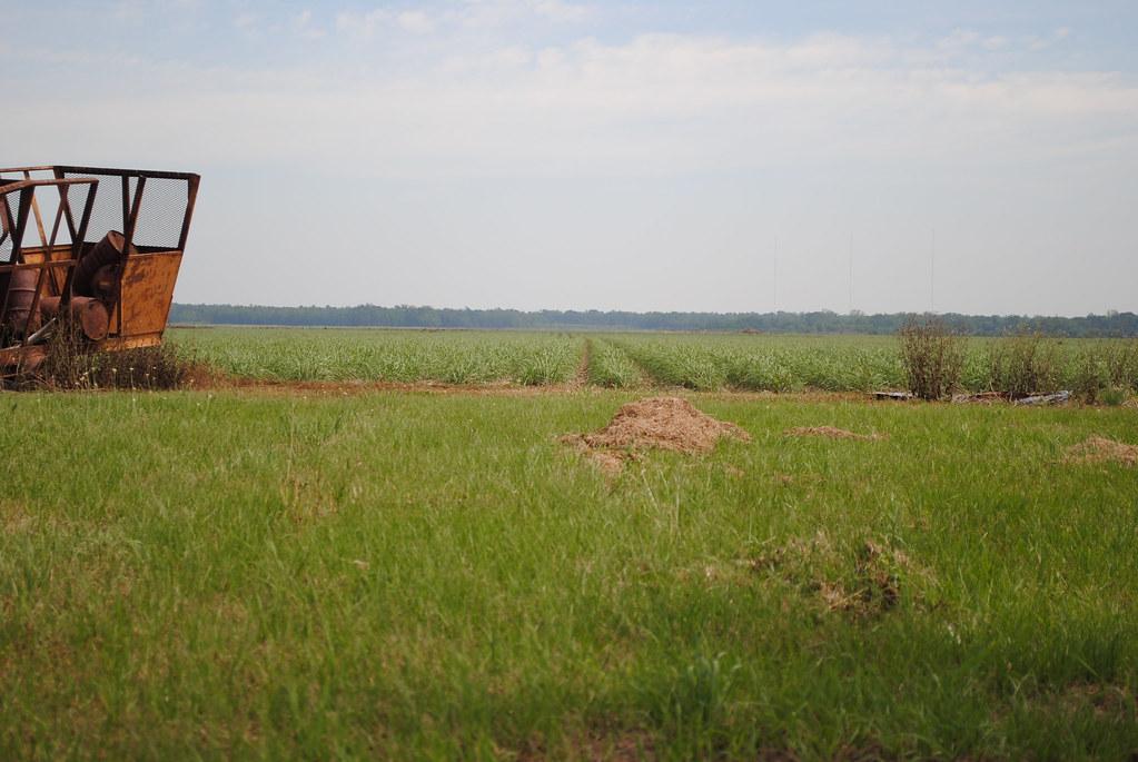 sugarcane rising
