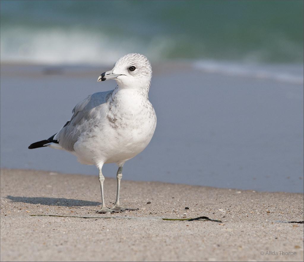 August Gull